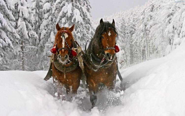 Zdjęcie koni w kuligu